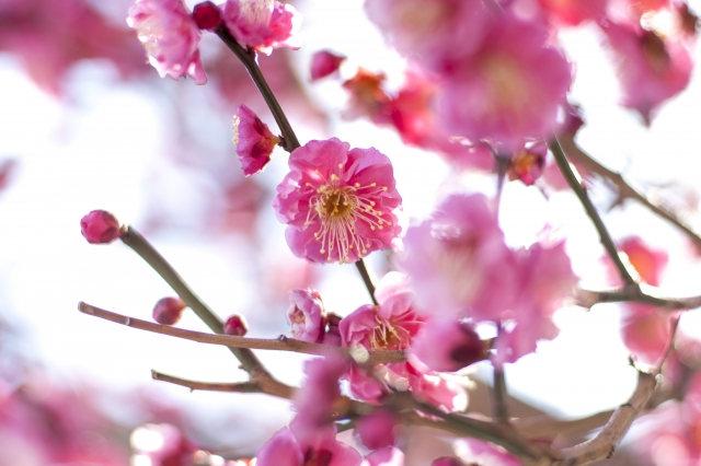 梅の花言葉をご存知ですか?